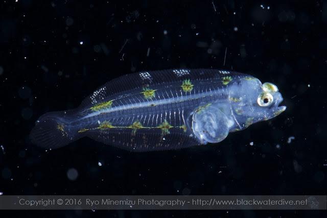 Pleuronectes yokohamae マコガレイの稚魚