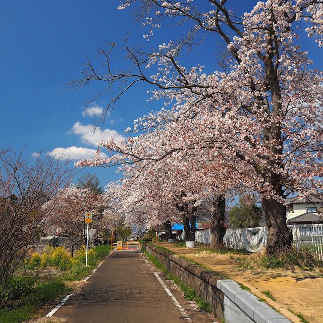 つくばりんりんロード 東飯田駅跡 桜