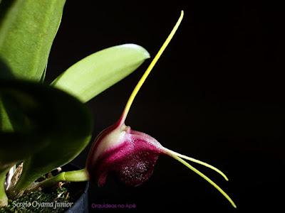 Orquídea Masdevallia discoidea
