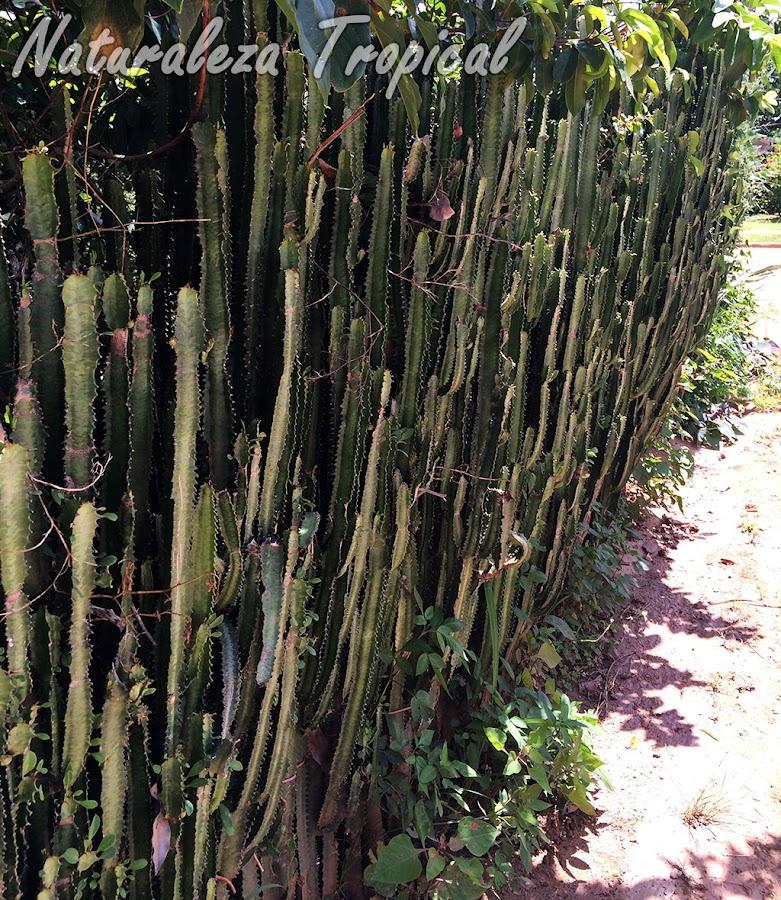 Árbol africano de Leche, Euphorbia trigona, formando un cercado natural