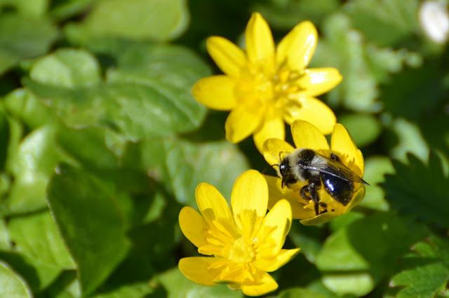 Andrena cineraria abeille sauvage butinant une fleur de ficaire