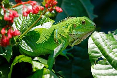 jenis reptil iguana