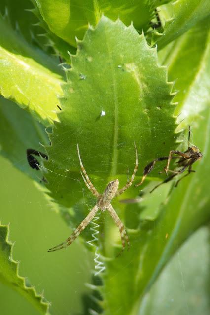 Spider, LLELA