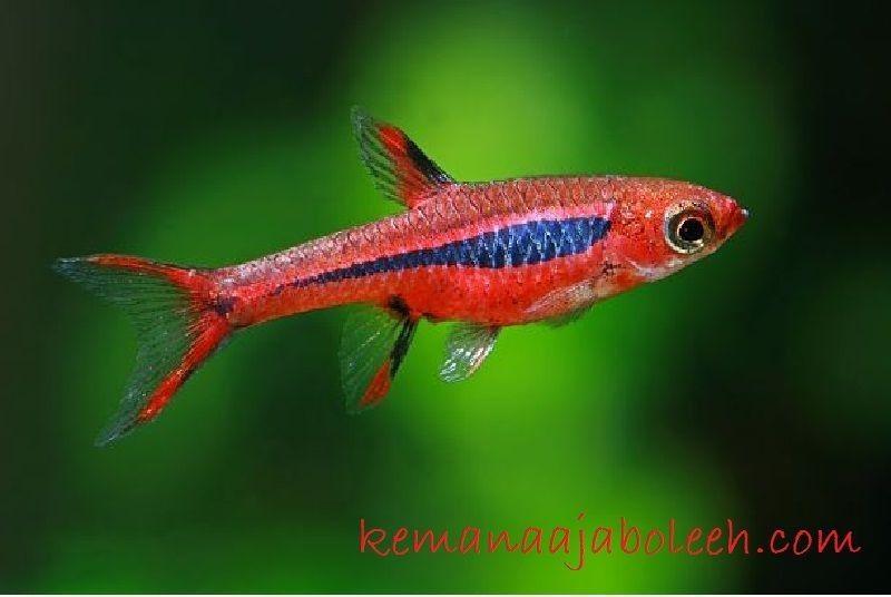 Ikan Aquascape yang Kuat - Rasbora