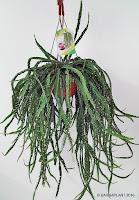 Rhipsali-cruciformis