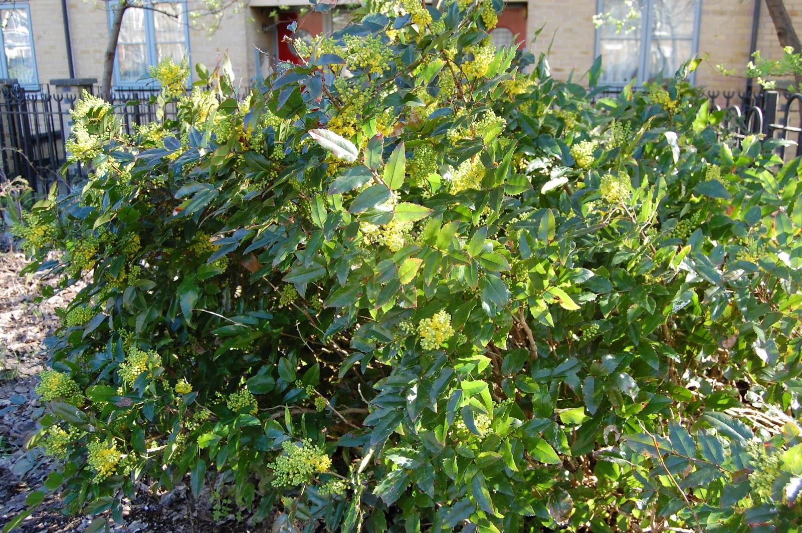 Mahonia Aquifolium Compacta 3