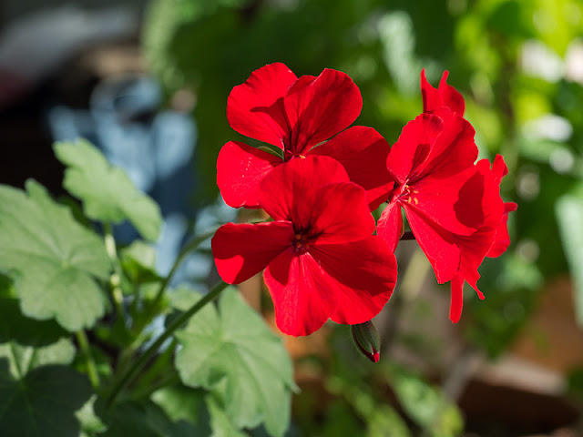 pelargonium over wintering geranium house plant potted plant
