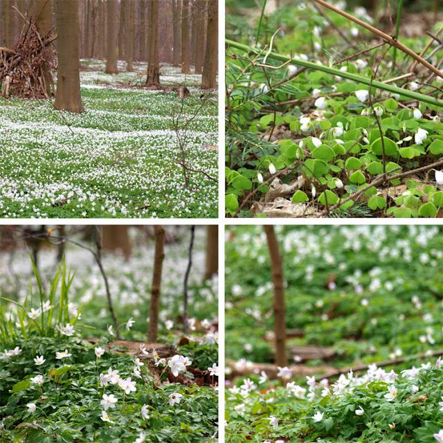 Anemoner  og skovsyre i skovbunden