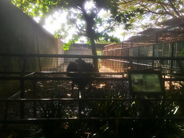 ostrich at crocolandia in biasong talisay city cebu philippines