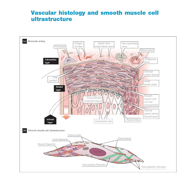 Vascular Histology And Smooth Muscle Cell Ultrastructure, Exchange vessel structure, Smooth muscle cell ultrastructure