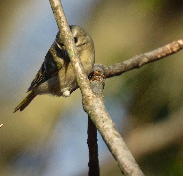 ...sweet little kinglet is definitely playing peek-a-boo!