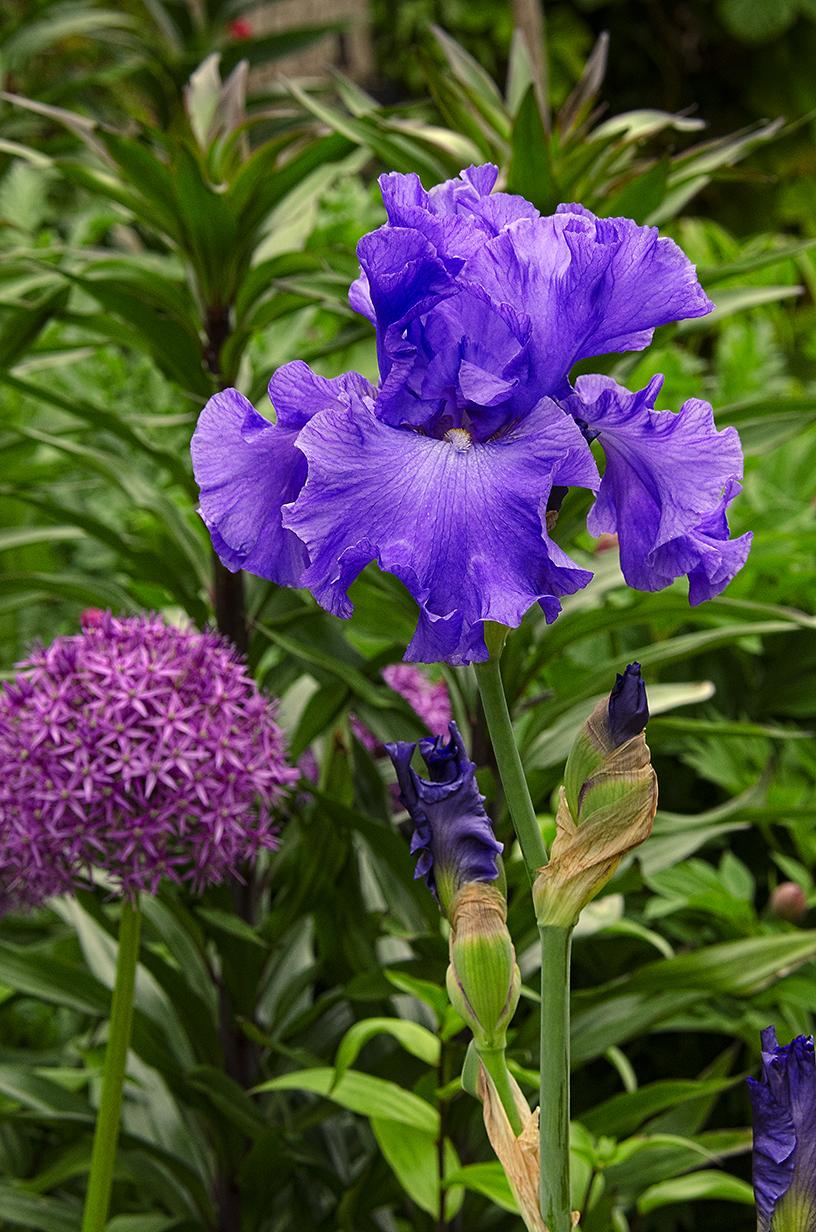 Linda Cochran S Garden Bearded Irises