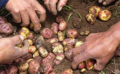 Agricultura Cultura Tiahuanaco (Cosecha de papa)