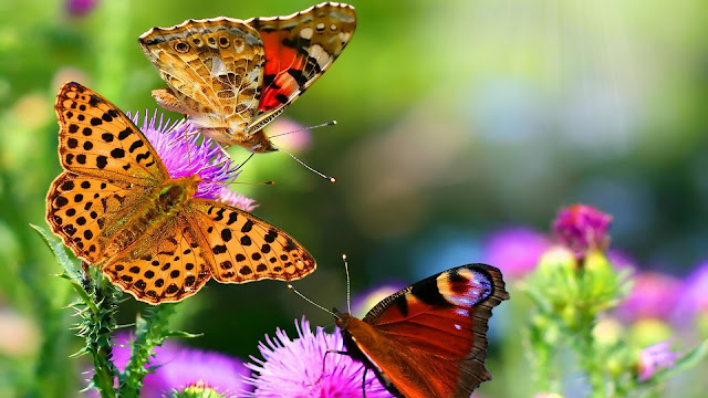 Butterfly Hd Wallpapers Earth Blog