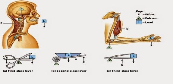 Systems of levers/ Sistemas de palancas More than strength