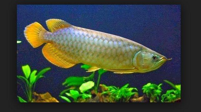 Nama Latin Ikan Arwana Dan Jenis Jenisnya