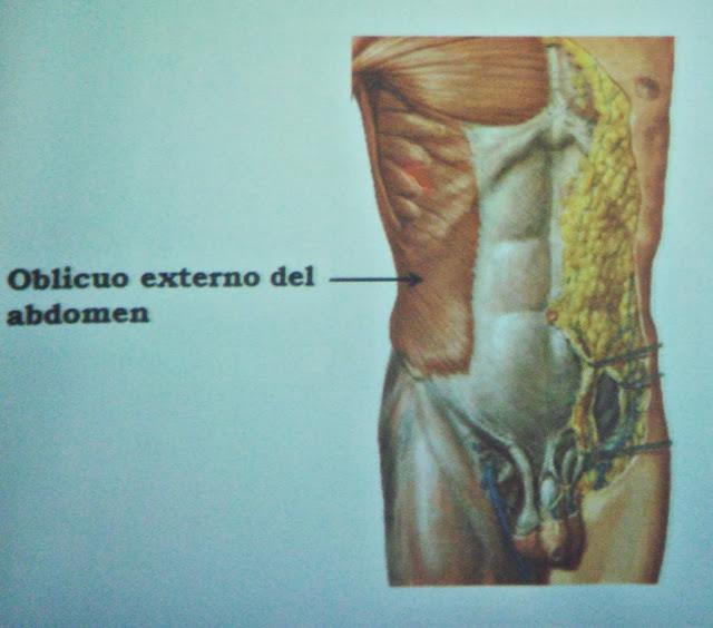 Músculos Anchos del Abdomen