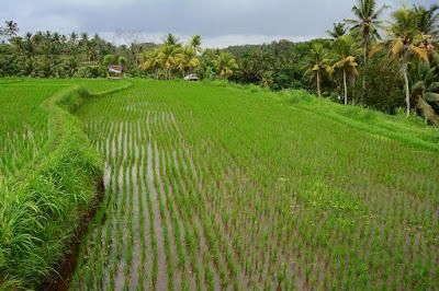 rizières Bali