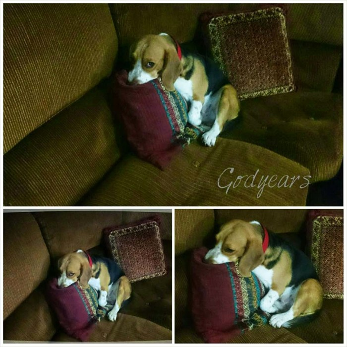 beagle falling asleep on the couch