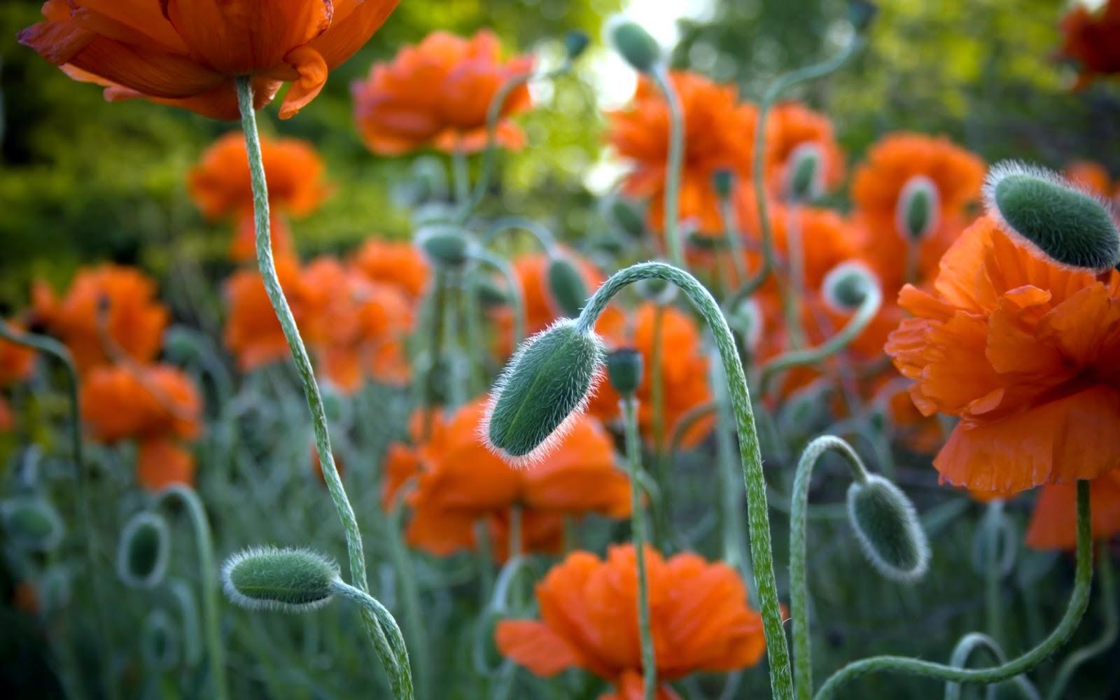 HD Flowers Wallpapers Free