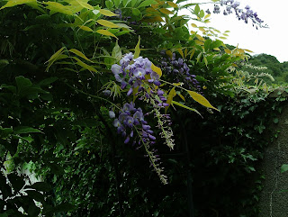 Garden Update July Green Fingered Blog Wisteria Sinensis