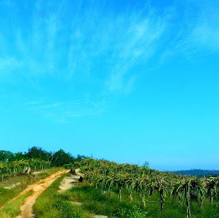 perkebunan buah naga akses menuju batu dinding Borneo