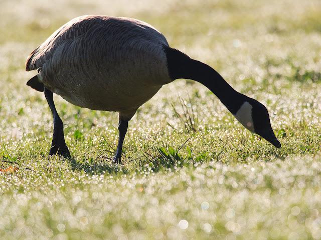 Kanadagans - Branta Canadensis - Canada Goose
