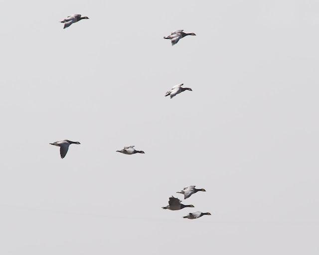Weißwangengans - Branta leucopsis - Barnacle Goose