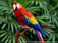 gambar burung macaw