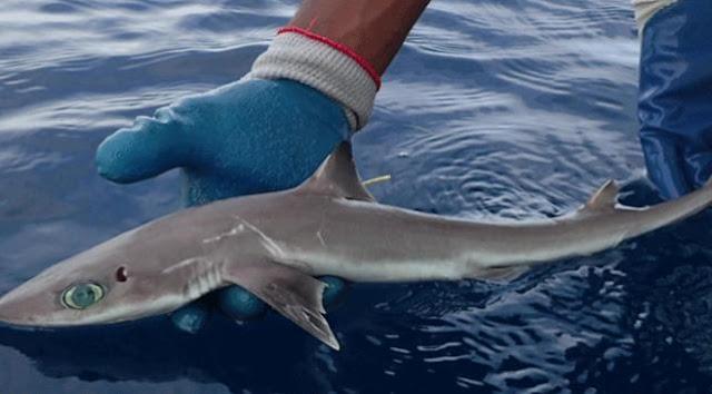 Bilim Adamları Meksika Körfezinde Yeni Köpek Balığı Türü Keşfetti - Kurgu Gücü