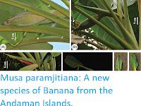 https://sciencythoughts.blogspot.com/2017/11/musa-paramjitiana-new-species-of-banana.html