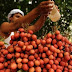 Heboh! 'Makan leci saat perut kosong', sekitar 100 anak di India mati