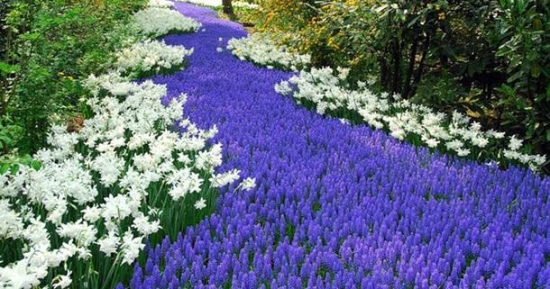 Мускари в саду