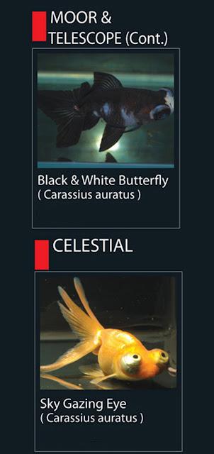 19. Sky Gazing Eye  Nama Latin Carassius Auratus