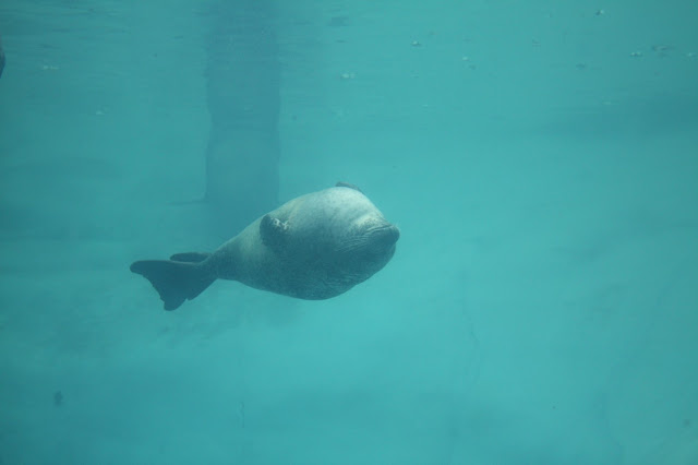 Incredible view of a seal swimming at Brookfield Zoo