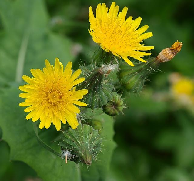 Resultado de imagem para flores dente de leão
