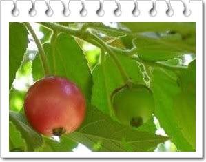 Manfaat buah kersen untuk kesehatan hingga kecantikan