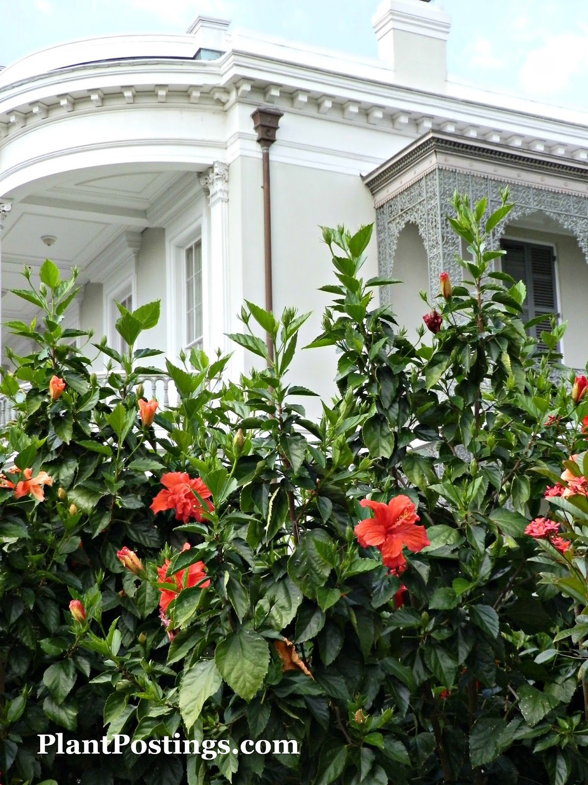PlantPostings: Plant of the month: Hibiscus
