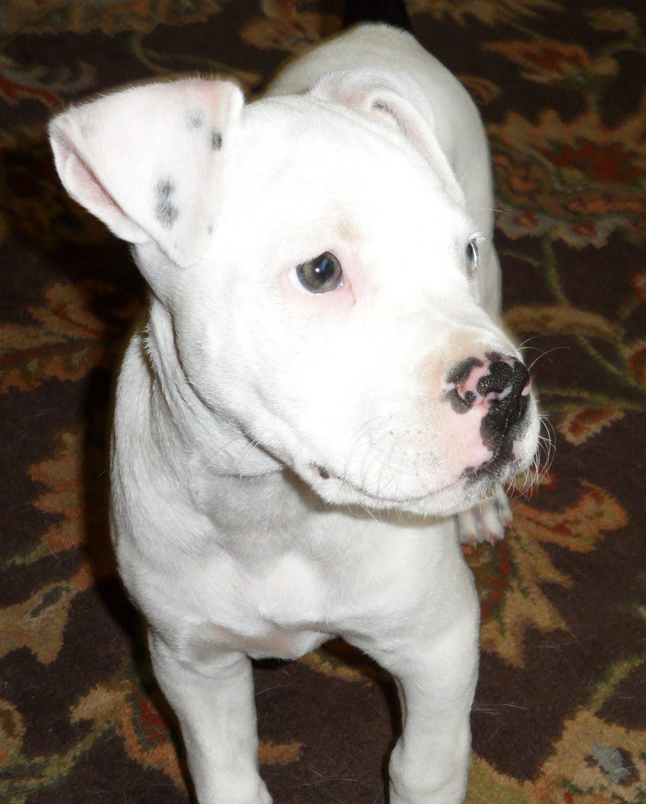 Lucky Dog Rescue Blog: Greta, the Deaf Pit Bull Puppy