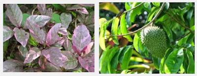 Herbal Alami Untuk Wasir