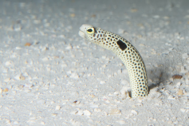a spotted garden eel