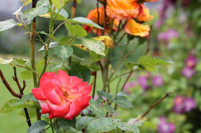 Rosenstrauch in verschiedenen Farben