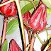 Cara Membuat Teh Rosela, Minuman Antioksidan Kaya Omega 3
