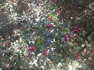 Syzygium australe, Australian bush cherry