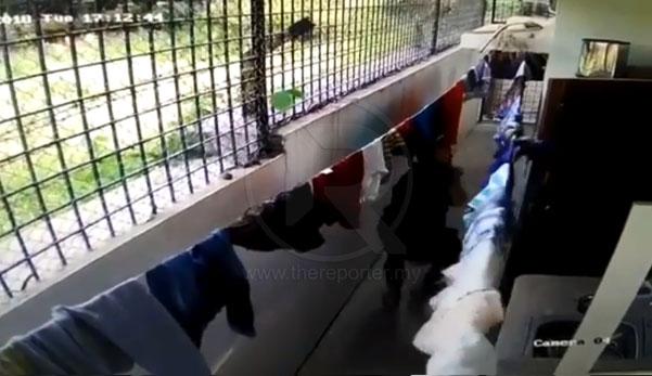 Rakaman Video Penuh Lelaki Maut, Kepala Dipatuk Ular Tedung
