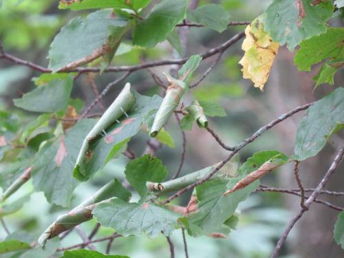 Witch Hazel leaf roller rolls