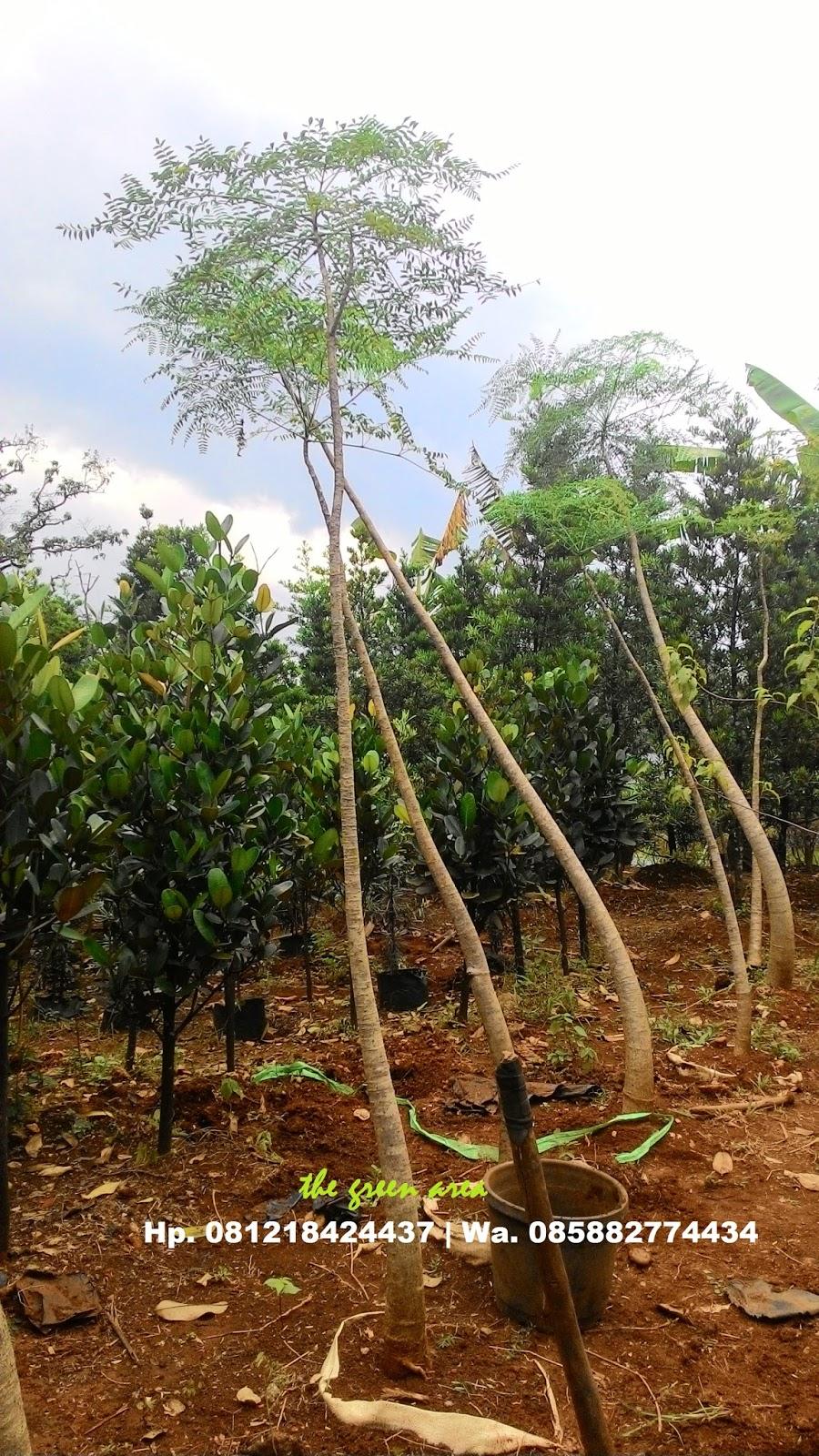 Tukang Taman Murah : kelor afrika | tukang taman,tanaman ...