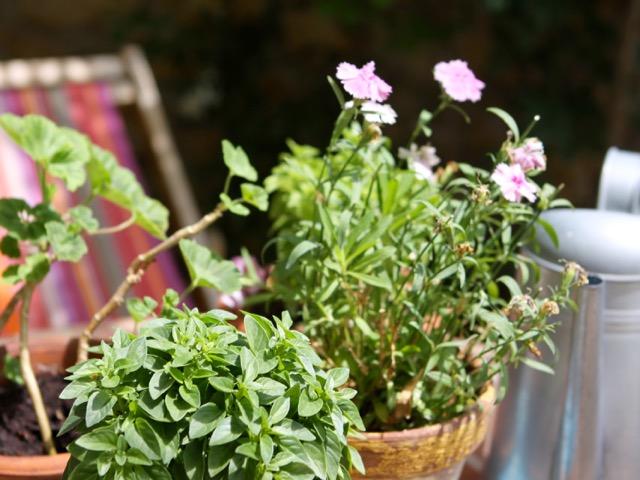 Spring gardening - basilic