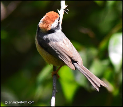 From, Above, Black-throated Tit,