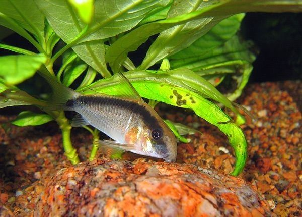 9. Jenis Ikan Hias Aquascape Skunk Corydoras
